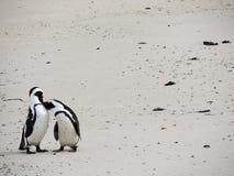 Due pinguini che baciano sulla spiaggia fotografia stock