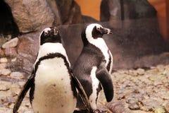Due pinguini che stanno sulle rocce Fotografia Stock Libera da Diritti
