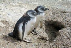 Due pinguini del bambino Fotografia Stock Libera da Diritti