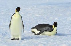 Due pinguini di imperatore sulla neve Immagine Stock