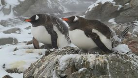 Due pinguini femminili di Gentoo che si siedono sul nido in una bufera di neve stock footage