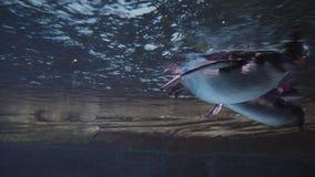 Due pinguins svegli del rockhopper nuota subacqueo nello stagno dell'acquario in Berlin Zoo stock footage