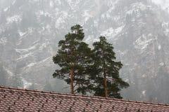 Due pini in alpi Fotografia Stock