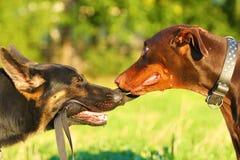 Due pinscher del doberman e del pastore tedesco Fotografia Stock
