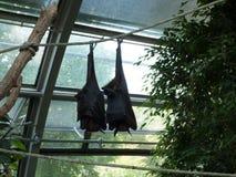 Due pipistrelli che dormono nello zoo fotografia stock