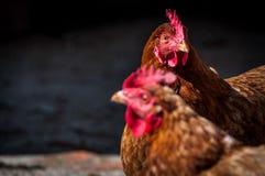 Due polli marroni nel villaggio nel giorno soleggiato fotografia stock libera da diritti