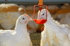 Due polli sono acqua potabile, in un'azienda agricola di pollo Fotografia Stock Libera da Diritti
