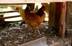Due polli in una gabbia di pollo immagine stock
