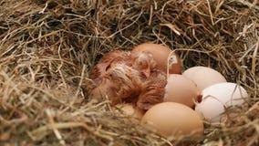 Due pollo che cova dalle uova, quello terzo che fende l'uovo video d archivio