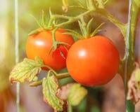 Due pomodori maturi rossi su un letto Raccolto dei pomodori Immagine Stock