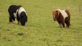 Due ponys di Shetland sul prato Fotografia Stock Libera da Diritti