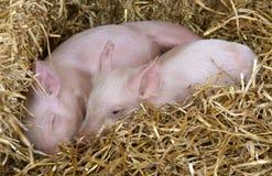 Due porcellini che riposano in paglia Immagine Stock