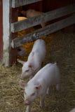 Due porcellini lasciano il loro Heatlamp caldo per giocare nella loro penna Fotografia Stock Libera da Diritti