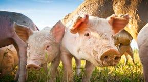 Due porcellini su un campo Fotografie Stock