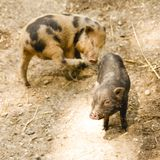 Due porcellini svegli su un'azienda agricola Concetto di agricoltura biologica fotografia stock libera da diritti
