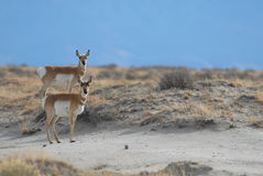 Due Pronghorn Immagine Stock