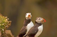 Due puffini sul arctica del fratercula della scogliera Immagine Stock
