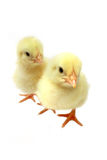 Due pulcini Fotografie Stock Libere da Diritti