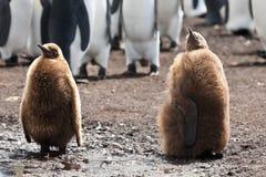 Due pulcini dei pinguini di re Fotografia Stock