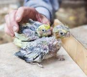 Due pulcini del pappagallo Fotografia Stock