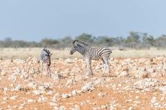 Due puledri della zebra di Burchells Fotografie Stock Libere da Diritti