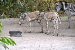 Due puledri maschi della zebra Fotografia Stock