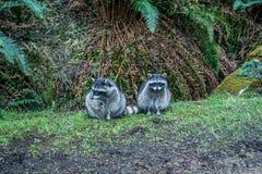 Due raccoons Fotografia Stock Libera da Diritti