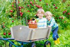 Due ragazzi dei bambini che selezionano le mele rosse sull'autunno dell'azienda agricola immagine stock