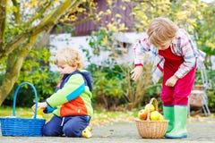 Due ragazzini svegli che raccolgono le mele nel giardino della casa Immagini Stock