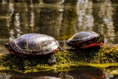 Due raggi di cattura di tartarughe sul ceppo muscoso immagine stock