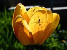 Due ragni un tulipano fotografie stock