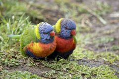 Due Rainbow Lorikeets Immagine Stock
