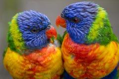 Due Rainbow Lorikeets Fotografie Stock Libere da Diritti