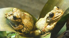 Due rane si siedono su una foglia verde video d archivio