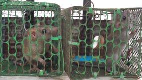 Due ratti bloccati in una gabbia del metallo che cerca per l'aiuto per l'uscita video d archivio
