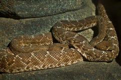 Due Rattlesnakes Fotografie Stock