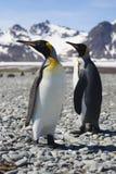 Due re Penguins sulla Georgia del sud Fotografie Stock Libere da Diritti