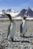 Due re Penguins sulla Georgia del sud Fotografia Stock
