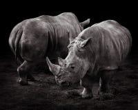 Due rhinos bianchi Immagini Stock Libere da Diritti