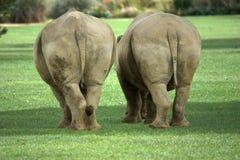Due rhinos bianchi grassi Fotografie Stock Libere da Diritti