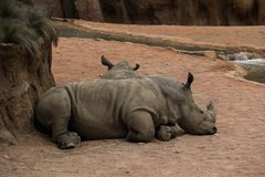 Due rinoceronti Fotografia Stock