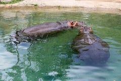 Due rinoceronti Fotografia Stock Libera da Diritti
