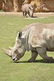 Due rinoceronti Immagini Stock