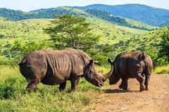 Due rinoceronti che attraversano la strada Safari in parchi nazionali del Sudafrica fotografia stock