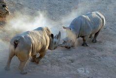Due rinoceronti combattono fra se stessi, la battaglia degli animali enormi in savana, molta polvere Fotografia Stock