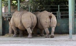 Due rinoceronti mangiano il fieno Fotografie Stock