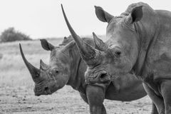 Due rinoceronti Sudafrica Immagini Stock Libere da Diritti