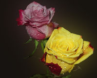 Due rose Fotografie Stock