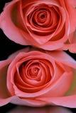Due rose colorate corallo immagini stock libere da diritti