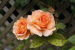 Due rose dentellare Fotografie Stock